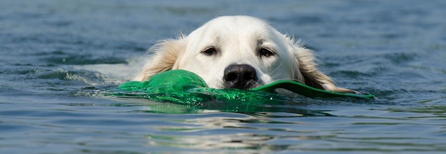 Goleden Retriever beim Schwimmen